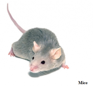 mice - rodent control